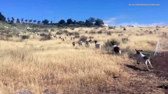 Wildfire Protection Goats Go to Work at Reagan Library