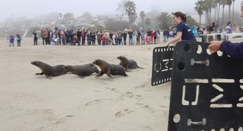 Rescued Sea Lions Released Back Into Wild