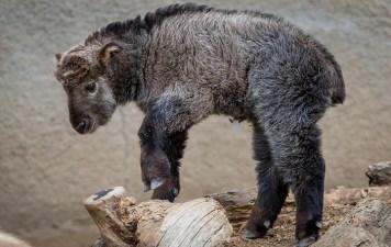 Takin About Spring Break at San Diego Zoo