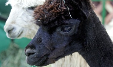 Alpacas, Music, and Earth Day