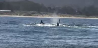 Video from Monterey Whale Watchers Shows Killer Whales in Action