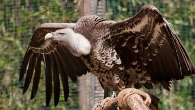 Santa Barbara Bird Love: Vulture Day