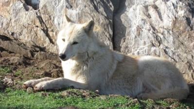 California Wolf Center Photo Tours