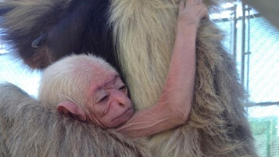 Gibbon Conservation Center Welcomes Baby Surprise