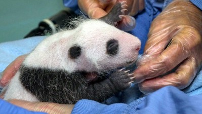 San Diego Zoo Panda Cub's First Exam