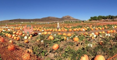 Giant Pumpkin Weigh-Off at Tanaka Farms