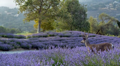 Lavender and Honey Harvests in Carmel Valley