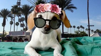 CHIchella: Adoptable Pups Rule