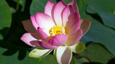 Lotusland: The Season's First Lotus Bloom