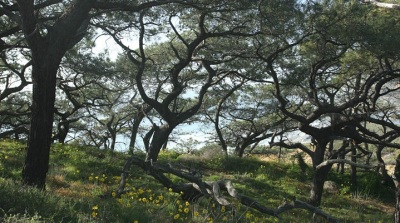 California Treasure: The Torrey Pine