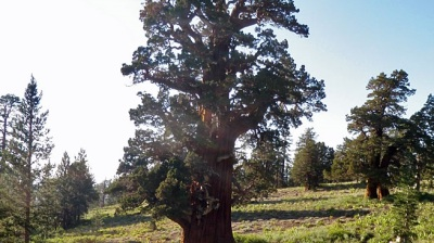 Bennett Juniper: 4,000-Year-Old Wonder