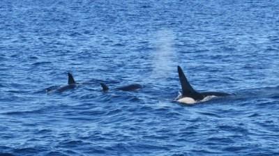 Orcas Frolic Near Ventura