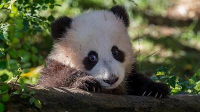 Adopt a Panda for Valentine's