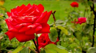 The Pat Nixon Rose: Presidential Petals for Your Garden