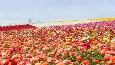 Sign of Spring: Flower Fields Set to Open