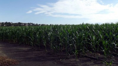 Big Horse Corn Maze