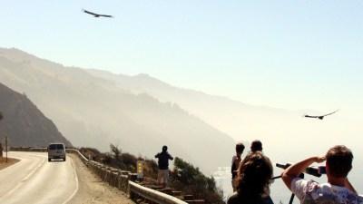 Feathers in Flight: A Condor Celebration
