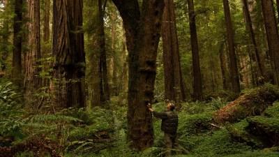Meet the Humboldt Honey, One Very Tall Maple
