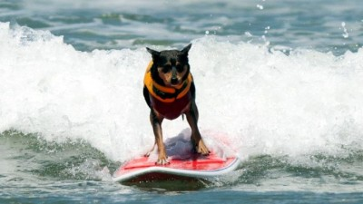 Loews Coronado Bay Surf Dog Competition