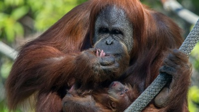Baby Orangutan Makes Zoo Debut