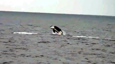 Killer Whales Off Newport Beach