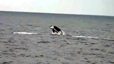 Killer Whales Off Newport Beach