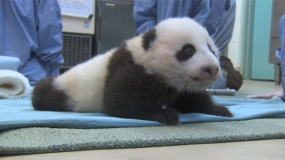 Baby Panda Growing Up Too Fast