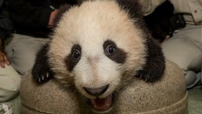 San Diego Zoo Panda Cub Set for Public Debut