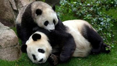 Pandas in HD