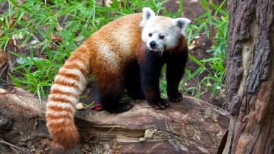 Panda Trek Debuts