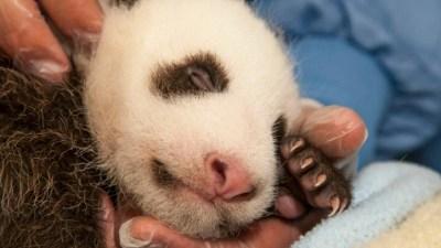 San Diego Panda Cub: It's a...