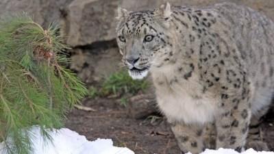 Snowy Santa Barbara: Snow Leopard Romp