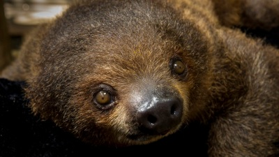 San Diego Zoo's Sloth Baby Gets a Name