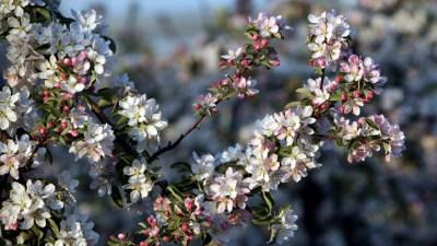 Oak Glen Apple Blossom Festival