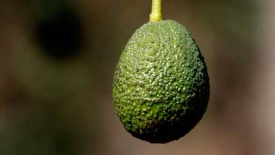 25th Annual Fallbrook Avocado Festival