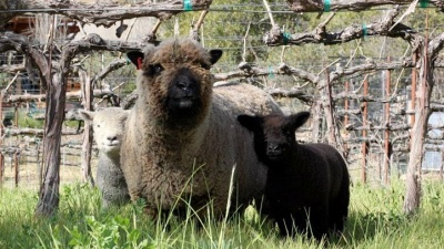 Calistoga Cute: Return of the Babydoll Sheep