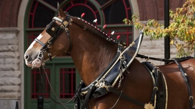Budweiser Clydesdales Visit Fairfield