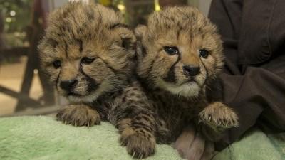 Furry Cute-a-tude: San Diego Cheetah Sisters