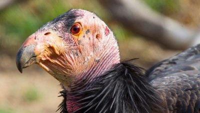 California Icon: Name the Condor Chick