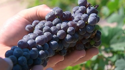 Oh, It's On: Napa Valley Harvest 2014