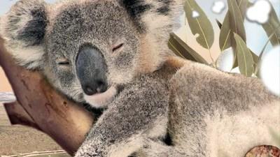 Eye-Level with Koalas