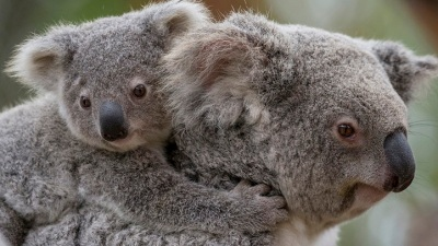 Koalas Behind the Scenes: A New San Diego Zoo Tour