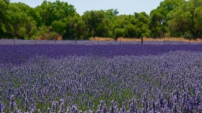 Lavender of the Central Coast
