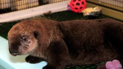 Monterey's Sea Otter Rescue