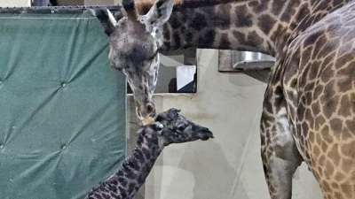 Santa Barbara Zoo Welcomes Baby Giraffe