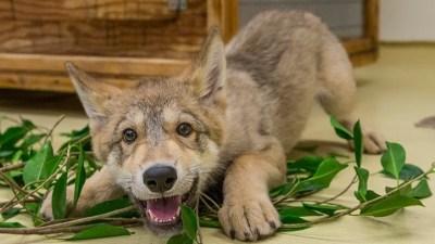 Meet Shadow, San Diego Zoo Superstar