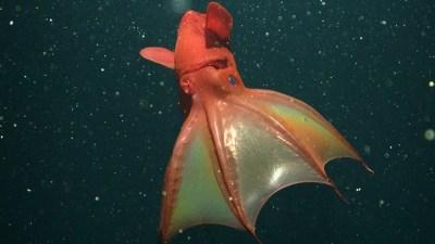 Historic Aquarium First: Vampire Squid on Display