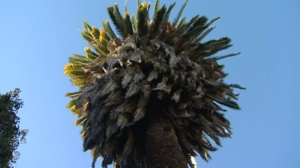 Palm Trees Pose Hazard in LA Neighborhood