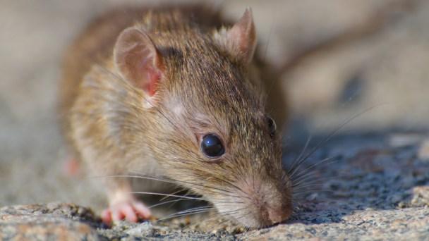 LA's Rat Problem Grows Even After City Cleans Up Trash Heaps
