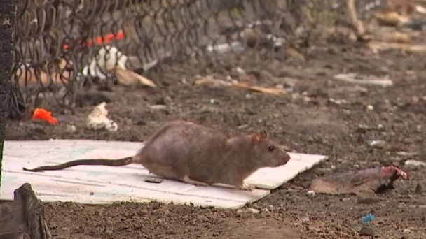 LA's Rat Problem Grows Even After City Cleans Up Trash Heaps